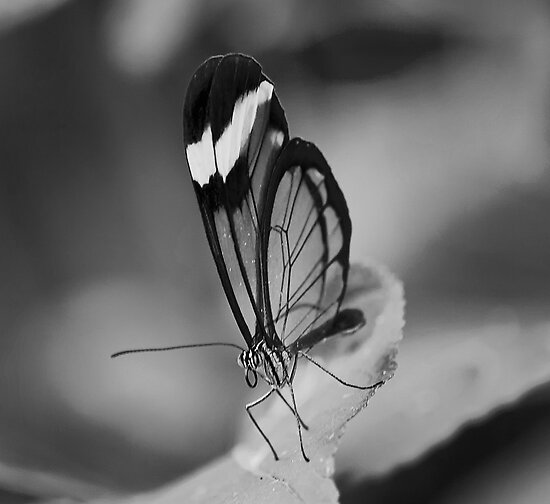 Glass Wing by Ray Clarke