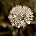 Lion's tooth (dandelion) by LadyFi