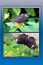Small Blue Grecian Butterfly collage by missmoneypenny