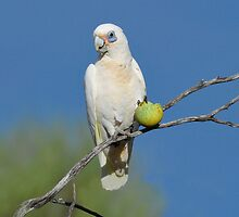 Little Corella taken near Carnarvon WA. by Alwyn Simple