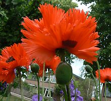 papaver and school by LisaBeth