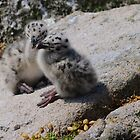 Great Black-backed Gull chicks, Saltee Island, County Wexford, Ireland by Andrew Jones