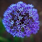 Allium by PhotoKismet