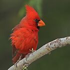 Northern Cardinal by tomryan