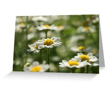 Lovely Daisies Greeting Card