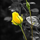 Yellow rose by TerryPatrick