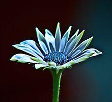 Blue Star by Denise Abé