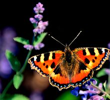 small tortoiseshell butterfly by Steve