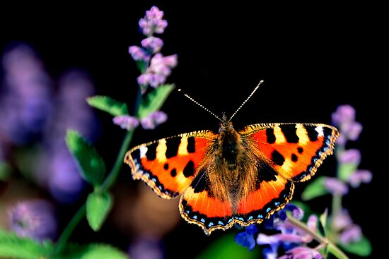 small tortoiseshell butterfly by Steve