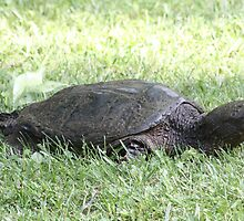 snapping turtle(3) by Larry Baker