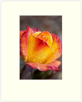 Vivid rose bathing in morning showers by Celeste Mookherjee