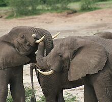 Elephant tussle by David Lumley