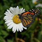 Butterfly Daisy by Rick  Friedle