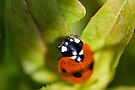 Ladybird by Ray Clarke