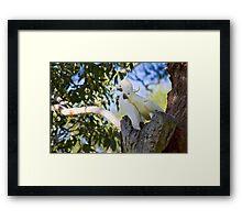 Sulfur-Crested Cockatoos - Sydney - Australia Framed Print