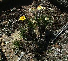 Pagoda Rock daisy, Leucochrysum graminifolium by orkology