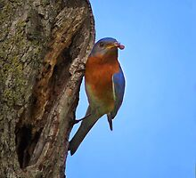 Male Eastern Bluebird With Insect by John Absher