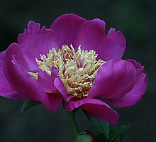 Perfectly Peony by Monnie Ryan