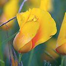 poppy... by Allan  Erickson
