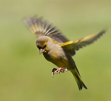 Greenfinch in flight by M.S. Photography & Art