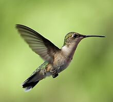 Another Hovering Hummingbird. by Gregg Williams
