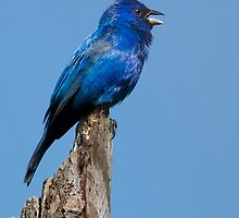 Just Blue (Indigo Bunting male) by PixlPixi
