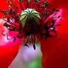 Red poppy flower detail by PhotosbyDrJ