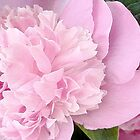 Afternoon Peony by Elizabeth Bennefeld