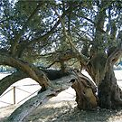 Antique olive tree. by machka