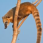 Ring-tailed Coati (Nasua nasua) by Konstantinos Arvanitopoulos