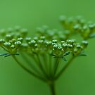 Parsley Seed by Gene Walls