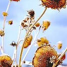 Sunflower Leftovers by Laurast