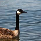 Canadian Goose by ImageItFoto