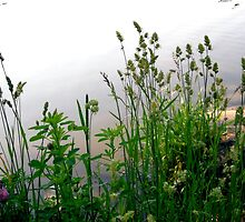 Grass on the banks of the Rideau River, Ottawa by Shulie1