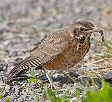 The Unsure Juvie American Robin by DigitallyStill
