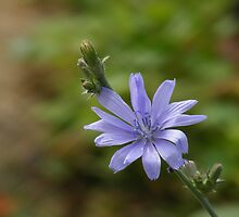 Blue Sailor (Cichorium intybus) by elasita