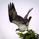 When the Osprey Spots a Fish in the Bay by David Friederich