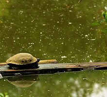 Turtle Procrastinating-Wildlife Reserve by NancyR