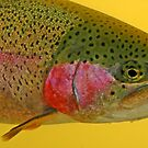 Western Oregon Rainbow Trout by Nick Boren