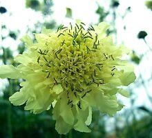 Cephalaria by Rewards4life
