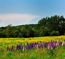 Field of Buttercups and Lupines, Stockton Springs, Maine by fauselr