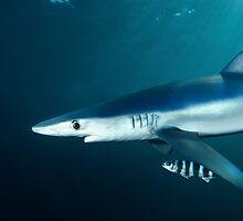 Shocked looking blue shark by Fiona Ayerst