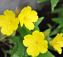 Evening Primrose by goddarb