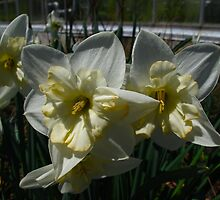Daffodils of Spring by MarianBendeth