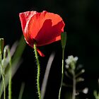 red poppy (2) by codaimages