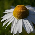 daisy days (2) by codaimages