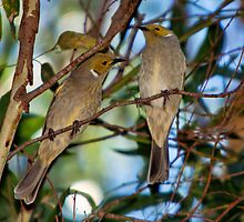 White-plumed Honeyeaters by Barb Leopold