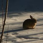 """Solitary Rabbit in Snow"" by dfrahm"