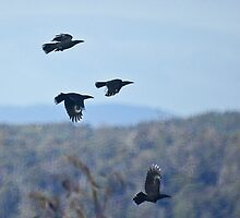 Currawongs in flight by Ron Co
