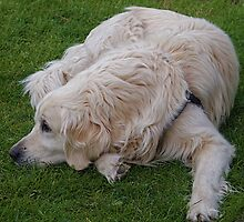 Golden Retriever by douwe